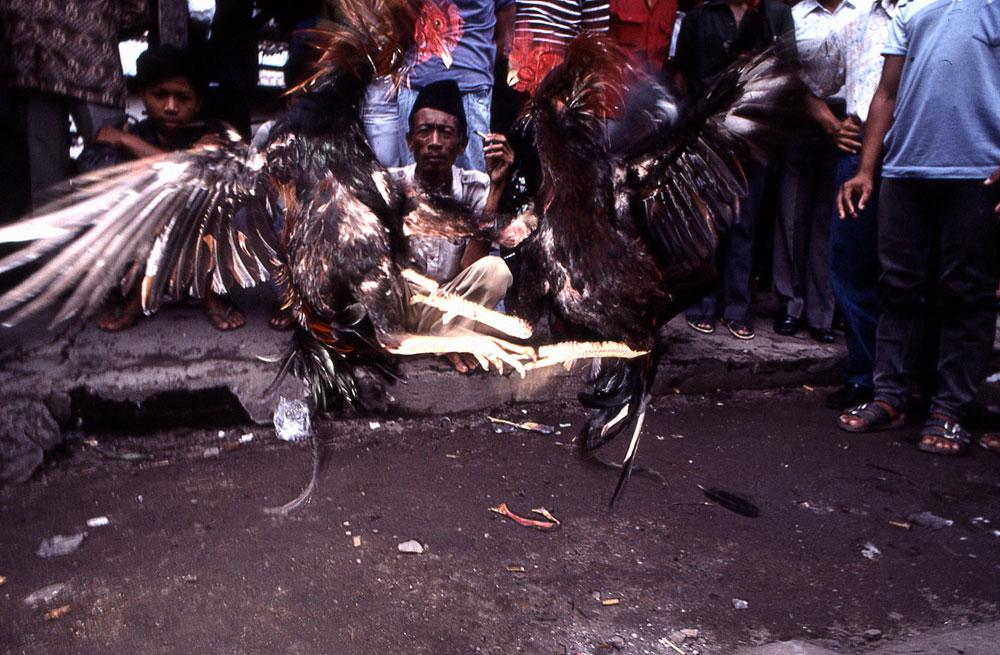 Java ( Indonnésie), combat de coqs